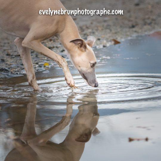 Photographe animalière, photographe chien, photographe whippet