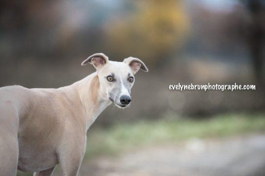 Photo whippet, photo chien, séance photo personnalisée