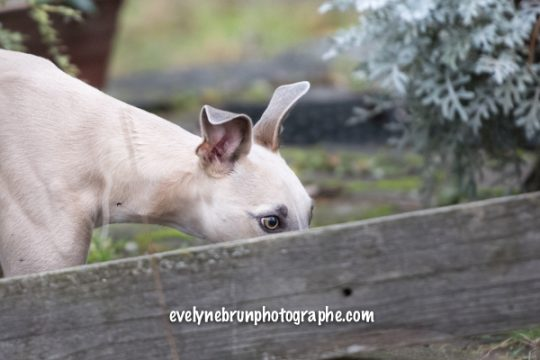 Photo chien, photo whippet
