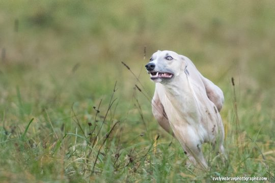 photo whippet course