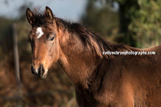 photo poulain fils Cornet Obolensky photo chevaux